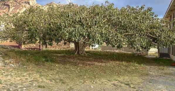 أشجار التالقFlint trees