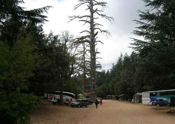 """"""" شجرة كوروKuro tree """" .. افضل معالم السياحة في افران .."""