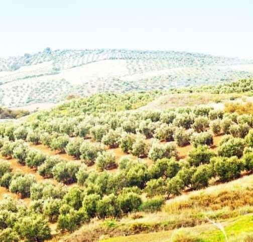 """الاماكن السياحية في عجلون الاردن .. """" مزارع الزيتون Olive Farms"""" .."""