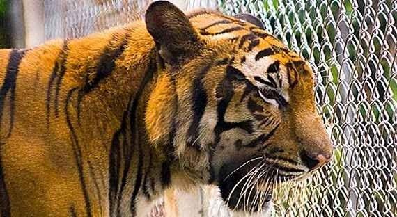 ساموي أكواريوم وحديقة النمور
