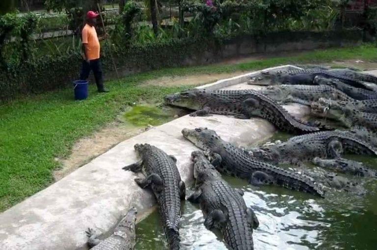 """"""" مزرعة تماسيح تيلوك سينجاتTeluk Sengat Crocodile Farm """" .."""