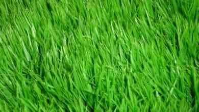 Photo of طريقة زراعة الثيل .. تعلم خطوات زراعة المسطحات الخضراء بالبذور والرولات وكيفية العناية بها