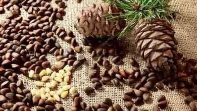 Photo of طريقة زراعة الصنوبر .. حقائق عن زراعة نبات الصنوبر تعرفها لأول مرة