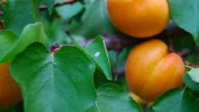Photo of طريقة زراعة المشمش.. تعرف على أفضل الطرق لزراعة المشمش للحصول على أفضل النتائج
