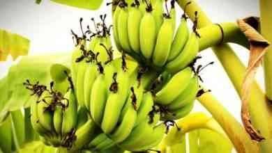 Photo of طريقة زراعة الموز .. تعرف على أفضل الاساليب والطرق لزراعة الموز للحصول على أفضل النتائج