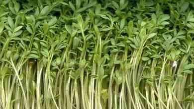 Photo of طريقة زراعة الرشاد .. تعرف علي طريقة زراعة نبات حب الرشاد في منزلك