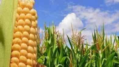 Photo of طريقة زراعة الذرة .. تعرف على طريقة زراعة الذرة البيضاء والصفراء والحصول على محصول وفير