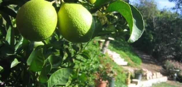 الظروف المناسبة لزراعة الحمضيات