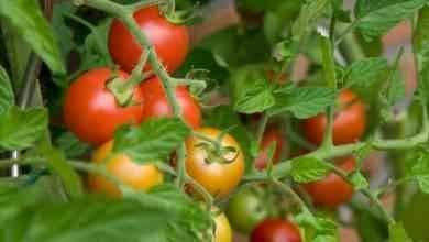 Photo of طريقة زراعة الطماطم .. تعلم كيفية زراعة الطماطم في منزلك والإرشادات اللازمة لنجاح زراعتها
