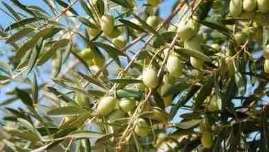 Photo of طريقة زراعة الزيتون .. تعرف علي طريقة زراعة الزيتون بطريقة الشتلات والعقل الخشبية