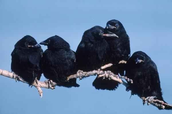طائر اجتماعي ومتعاون