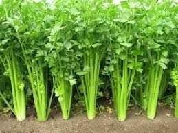 طريقة زراعة الكرفس في الأرض