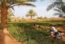 طريقة زراعة الحناء