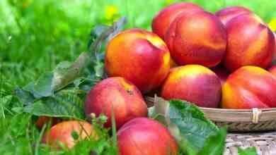 Photo of طريقة زراعة الدراق ..تعرف على طريقة زراعة الدراق والحصول على أفضل نتيجة لزراعته