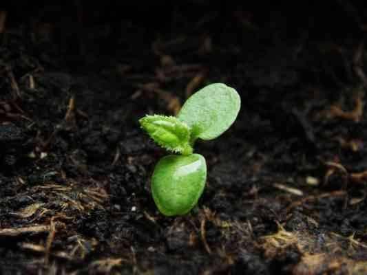 زراعة النباتات الشابة _ طريقة زراعة الكيوى