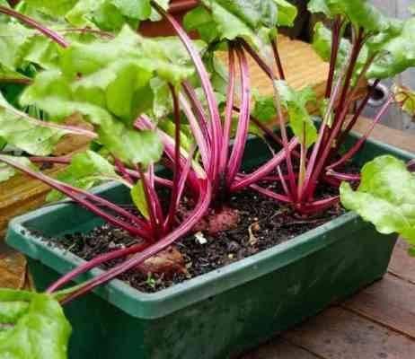 طريقة زراعة الشمندر بالبذور