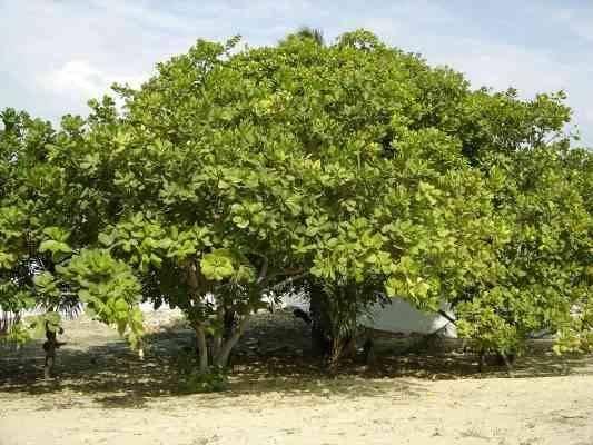 التربة والظروف المناخية _ طريقة زراعة الكاجو