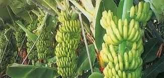طرق رعاية الموز