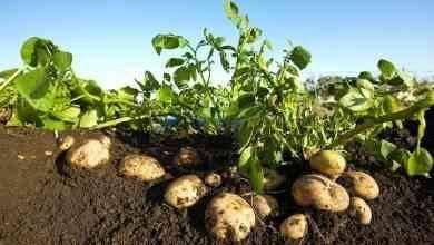 Photo of طريقة زراعة البطاطس .. تعرف علي طريقة  زراعة البطاطس في المنزل عن طريق الدرنات