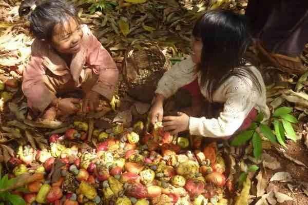 الحصاد _ طريقة زراعة الكاجو