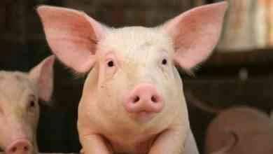 Photo of حقائق عن الخنزير … كل ما يهمك معرفته حول الخنزير وفترة نموه