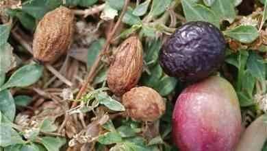 Photo of طريقة زراعة الزيتون بالبذور .. تعلم خطوات زراعة بذور الزيتون وأنواع الأسمدة اللازمة لتغذية التربة