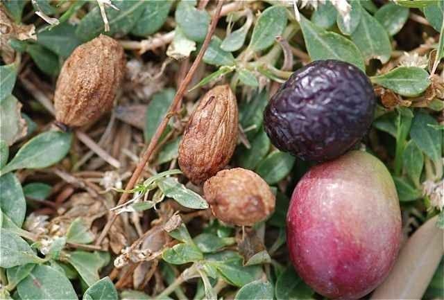 طريقة زراعة الزيتون بالبذور