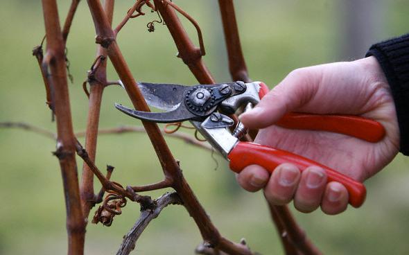 التقليم _ طريقة زراعة الكاجو