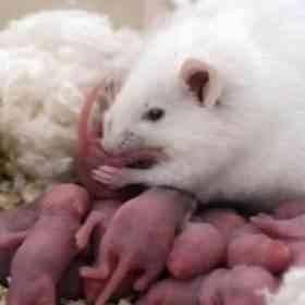حقائق عن حجم وشكل الفأر