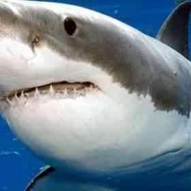 ما هو سمك القرش