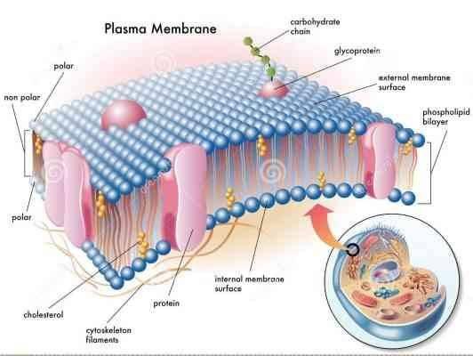 Cell Membrane الغشاء البلازمي