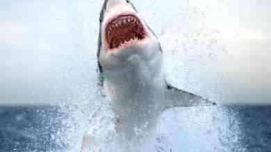 Photo of حقائق عن القرش…تعرف على 6 أنواع من القروش والأماكن التى تتواجد بها وكيف تلد صغارها.