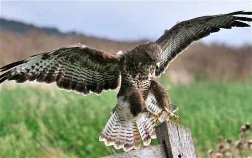 سلوك طائر الحدأة