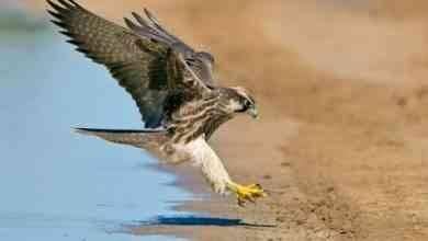 Photo of معلومات عن طائر الصقر .. أنواع الصقور و بعض صفاتها المختلفة و طرق تغذيتها بالتفصيل