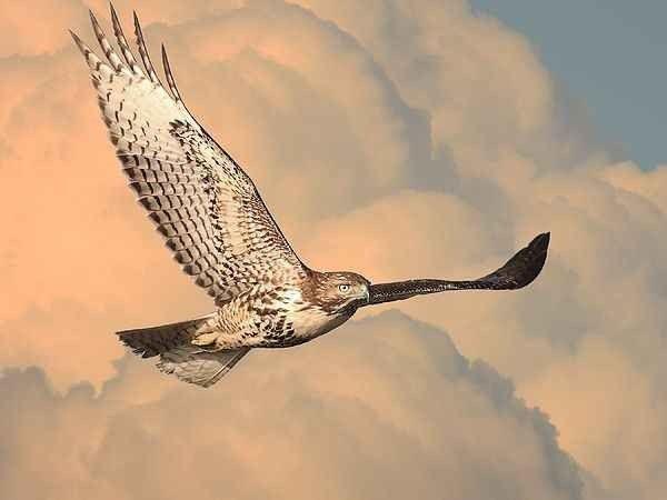 معلومات عن طائر الصقر