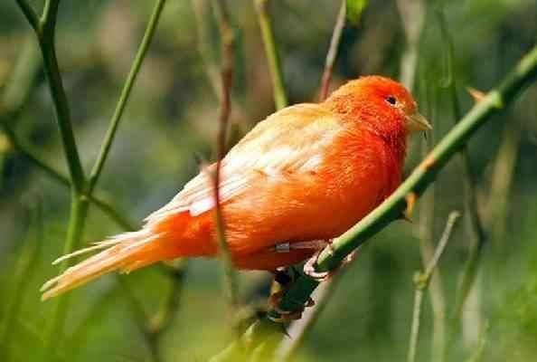 أنواع طائر الكناري - معلومات عن طائر الكناري