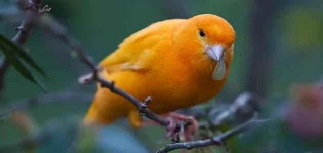 تغذيه طائر الكناري - معلومات عن طائر الكناري