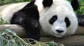 طرق حماية الباندا