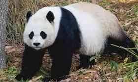 سلوك حيوان الباندا