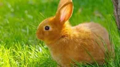 Photo of معلومات عن الأرنب .. إليك حقائق مذهلة ومعلومات عن حياة الأرانب وموطنهم حول العالم