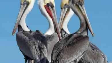 معلومات عن طائر البجع