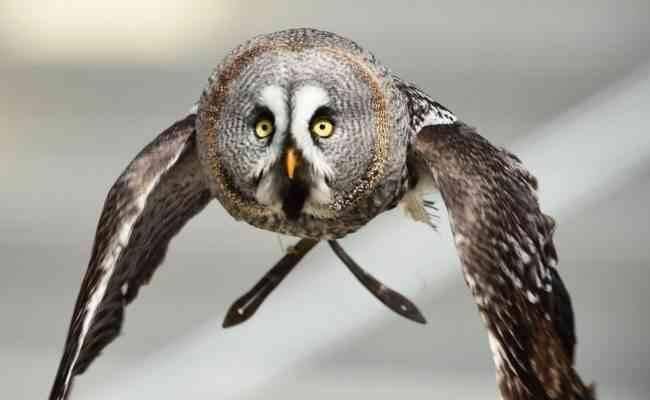 معلومات عن طائر البومه