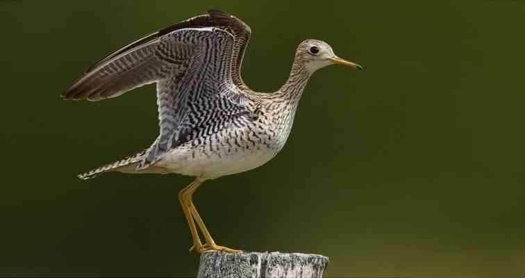 معلومات عن طائر الكروان وأنواعه(2) معلومات-عن-طائر-الكروان-2-756x400.jpg