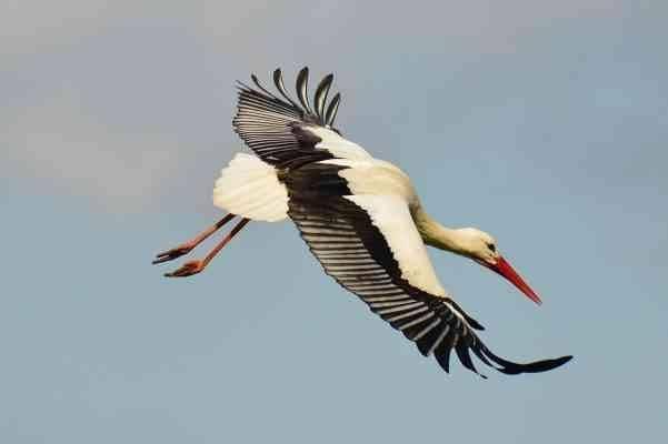طائر اللقلق … أين تستقر طيور اللقلق ؟ وكيف تتكاثر ؟ وأنواعها المختلفة معلومات-عن-طائر-اللقلق-1-601x400.jpg