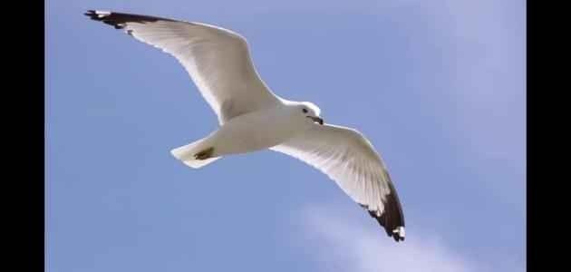 طــائر النورس .. تعرف على قرصـــان البحر .. 1-36.jpg