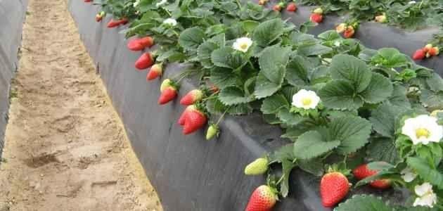 طريقة زراعة الفراولة .. لا يفوتك معرفتها ..