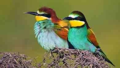Photo of معلومات عن طائر الوروار.. تعرف على طائر الوروار الطائر الجميل العدو الرئيسى للنحل