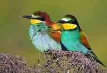 معلومات عن طائر الوروار