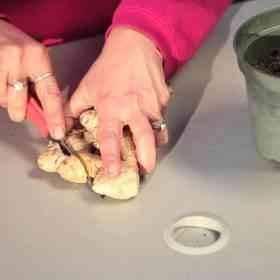 طريقة قطع الجذور - زراعة الزنجبيل داخل المنزل