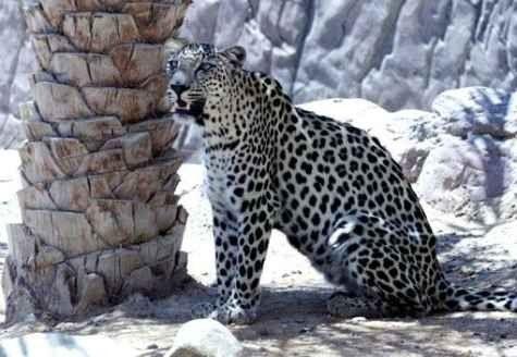 معلومات عن النمر العربى